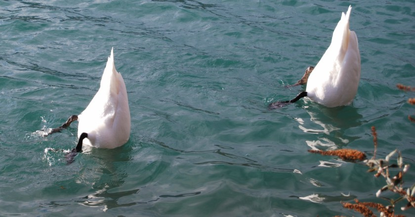 Swans diving in the river, Henley-on-Thames